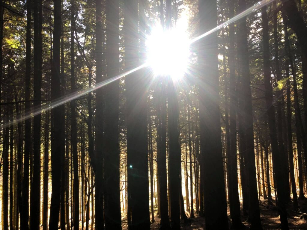 Sunlight through the trees in Whinlatter Forest