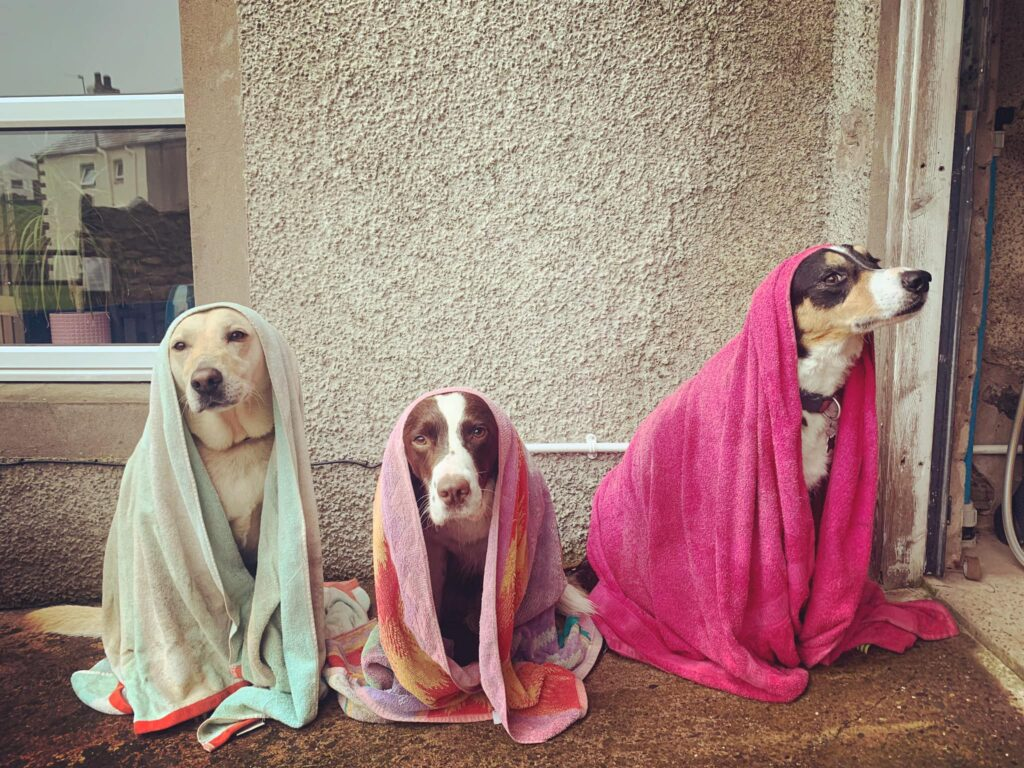 Wet dogs covered in towels after swimming in the Lake District